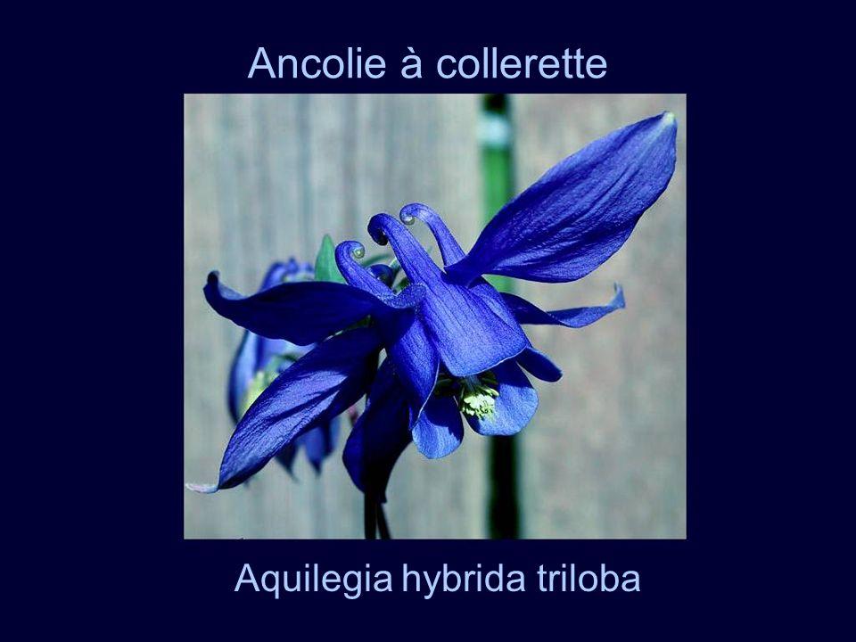 Aquilegia hybrida triloba