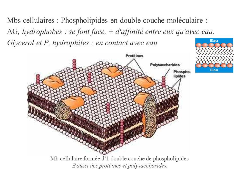 Mbs cellulaires : Phospholipides en double couche moléculaire :