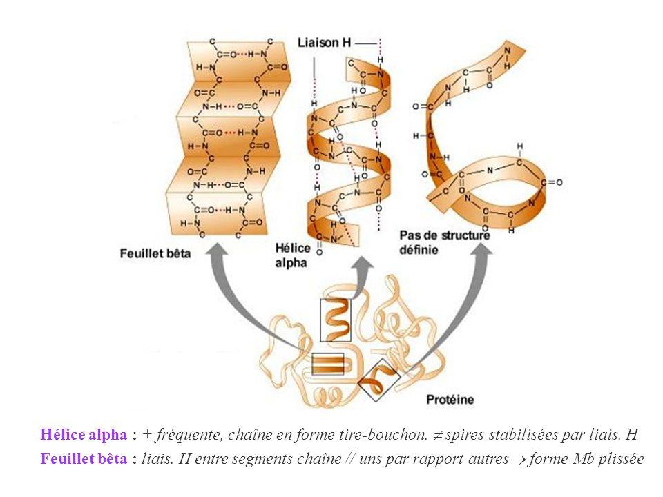 Hélice alpha : + fréquente, chaîne en forme tire-bouchon