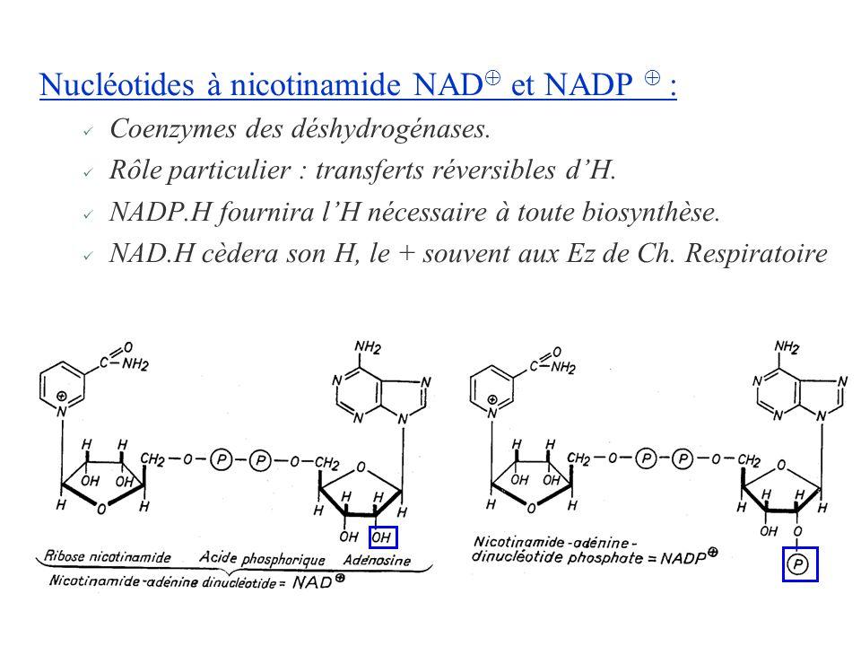 Nucléotides à nicotinamide NAD et NADP  :