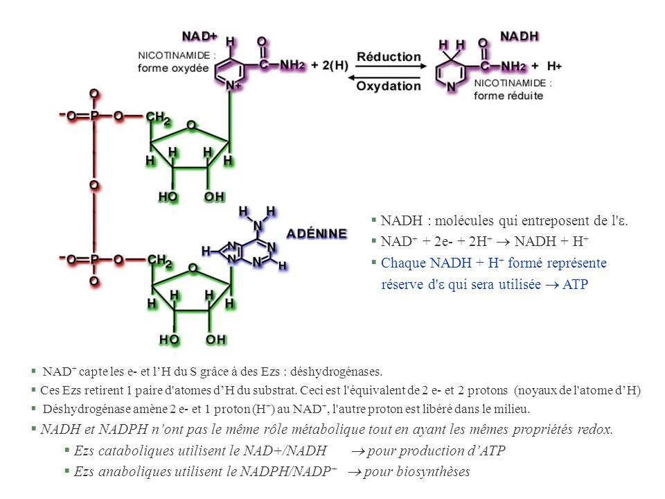 NADH : molécules qui entreposent de l . NAD+ + 2e- + 2H+  NADH + H+