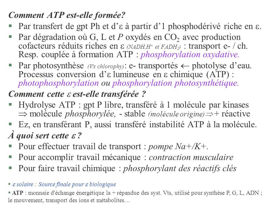 Comment ATP est-elle formée