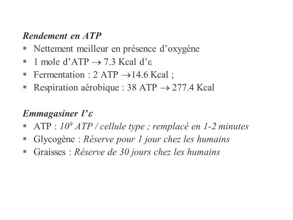 Rendement en ATP Nettement meilleur en présence d'oxygène. 1 mole d'ATP  7.3 Kcal d' Fermentation : 2 ATP 14.6 Kcal ;
