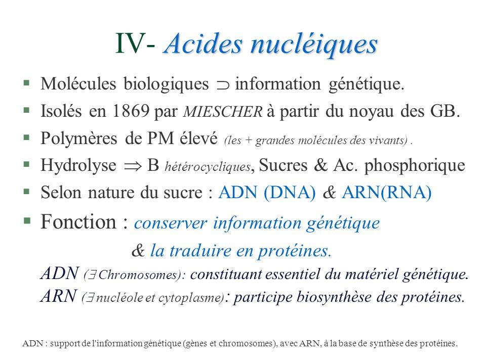 IV- Acides nucléiques Fonction : conserver information génétique