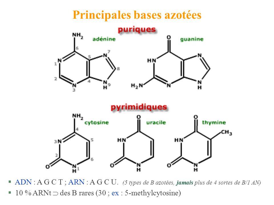 Principales bases azotées