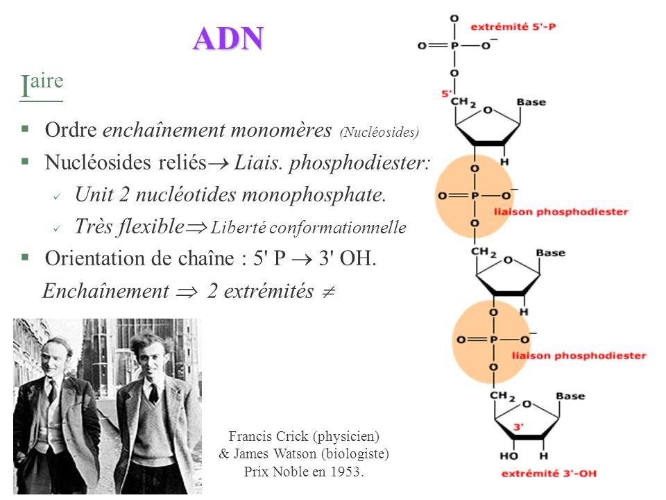 ADN Iaire Ordre enchaînement monomères (Nucléosides)