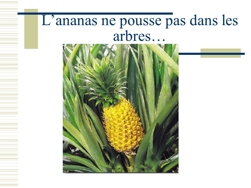 L'ananas ne pousse pas dans les arbres…