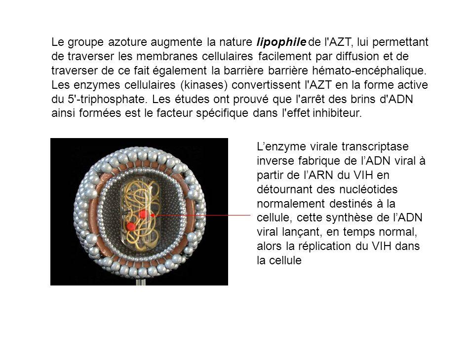 Le groupe azoture augmente la nature lipophile de l AZT, lui permettant de traverser les membranes cellulaires facilement par diffusion et de traverser de ce fait également la barrière barrière hémato-encéphalique. Les enzymes cellulaires (kinases) convertissent l AZT en la forme active du 5 -triphosphate. Les études ont prouvé que l arrêt des brins d ADN ainsi formées est le facteur spécifique dans l effet inhibiteur.