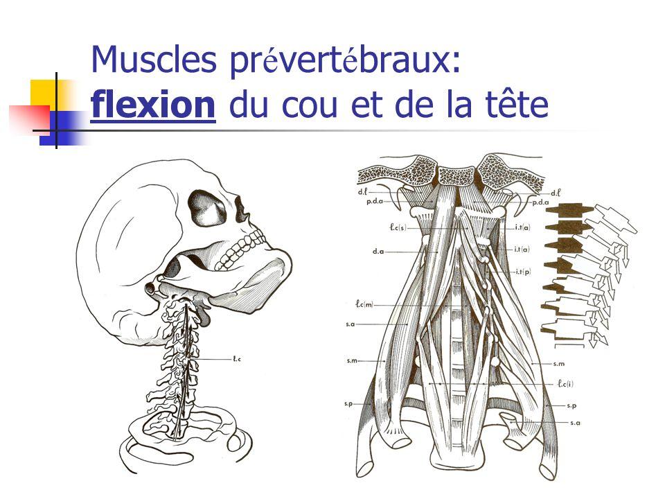 Muscles prévertébraux: flexion du cou et de la tête