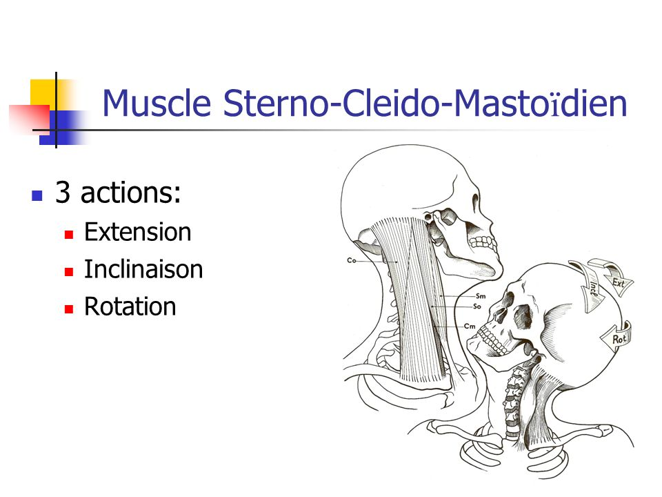 Muscle Sterno-Cleido-Mastoïdien