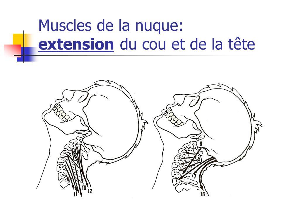 Muscles de la nuque: extension du cou et de la tête
