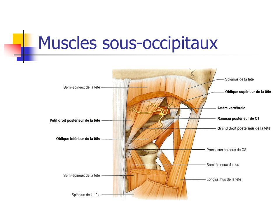 Muscles sous-occipitaux