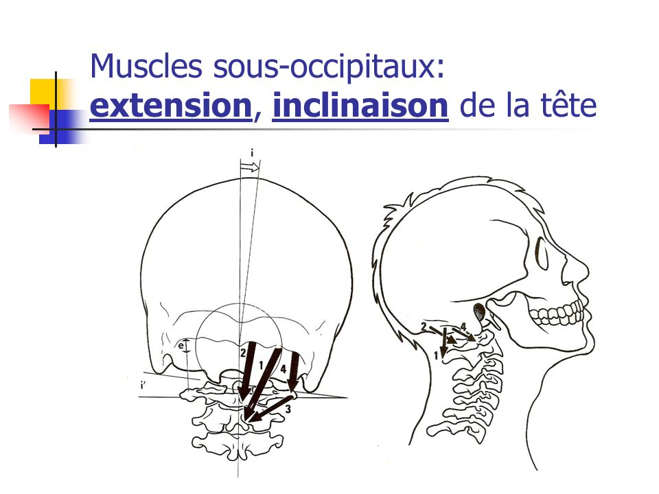 Muscles sous-occipitaux: extension, inclinaison de la tête