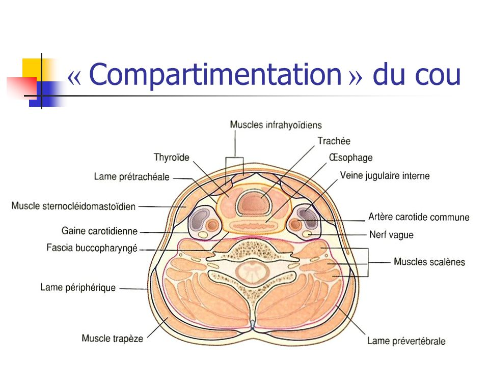 « Compartimentation » du cou