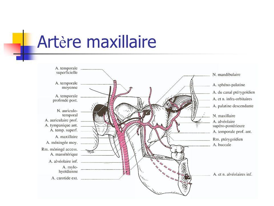 Artère maxillaire