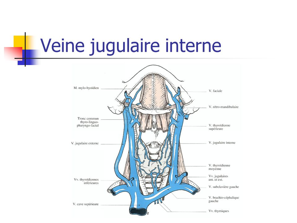 Veine jugulaire interne