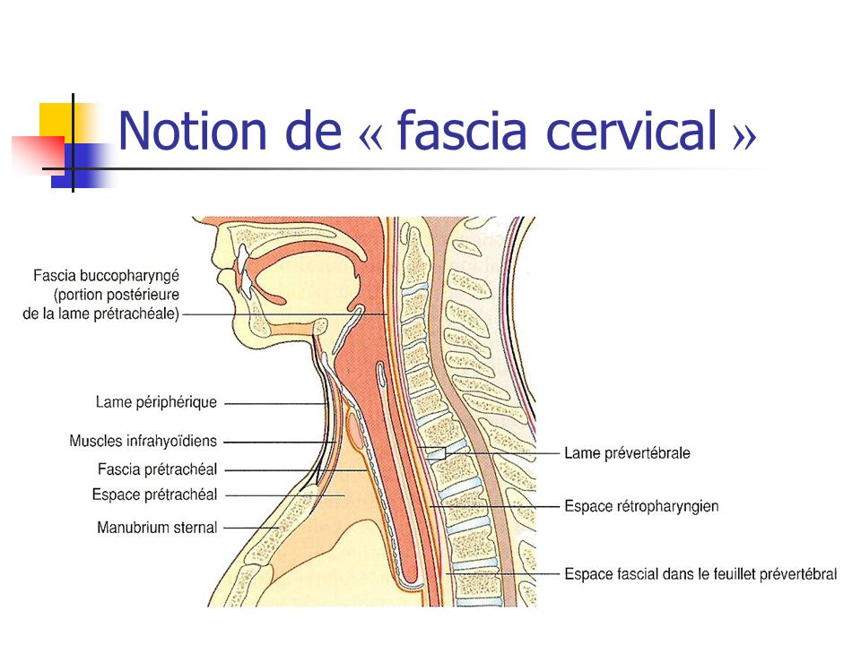 Notion de « fascia cervical »
