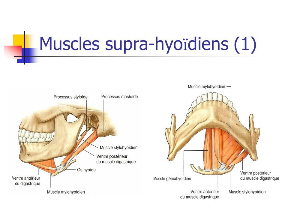 Muscles supra-hyoïdiens (1)