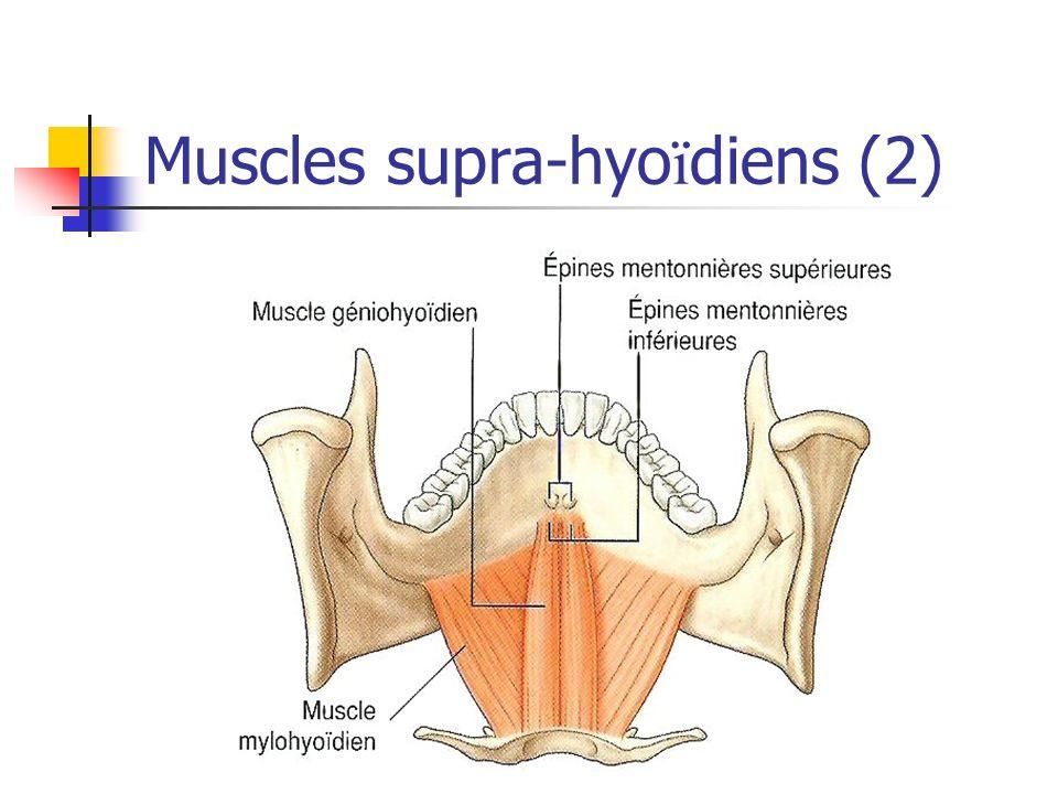Muscles supra-hyoïdiens (2)