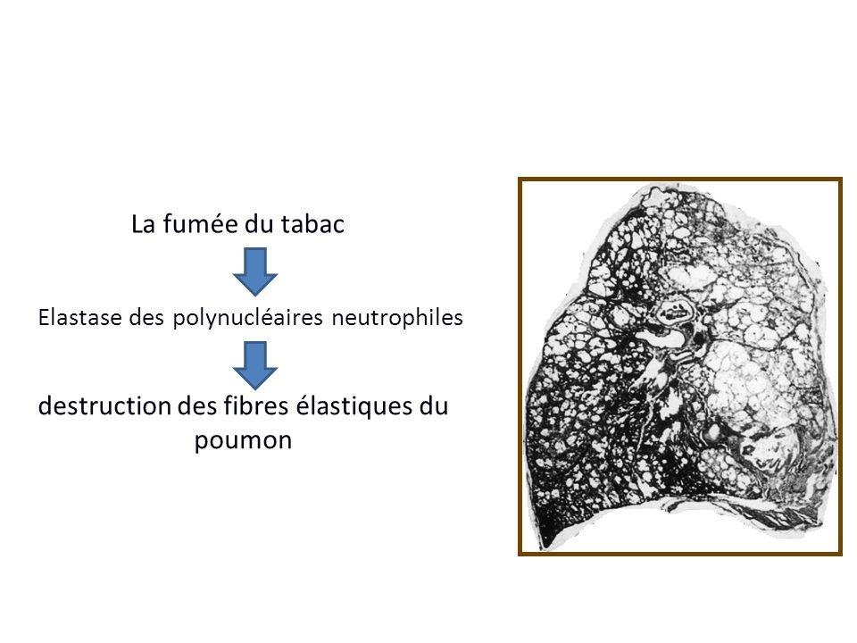 destruction des fibres élastiques du poumon