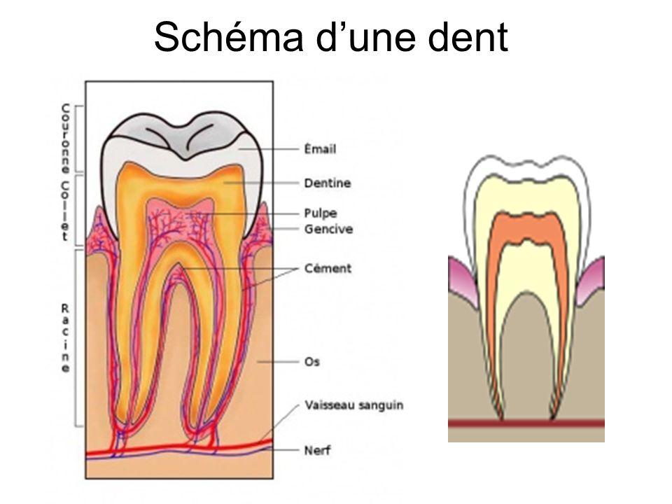 Schéma d'une dent Dr Th GRENET