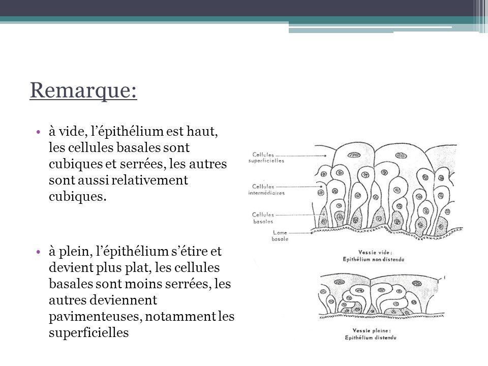 Remarque: à vide, l'épithélium est haut, les cellules basales sont cubiques et serrées, les autres sont aussi relativement cubiques.