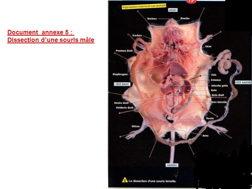 Document annexe 5 : Dissection d'une souris mâle