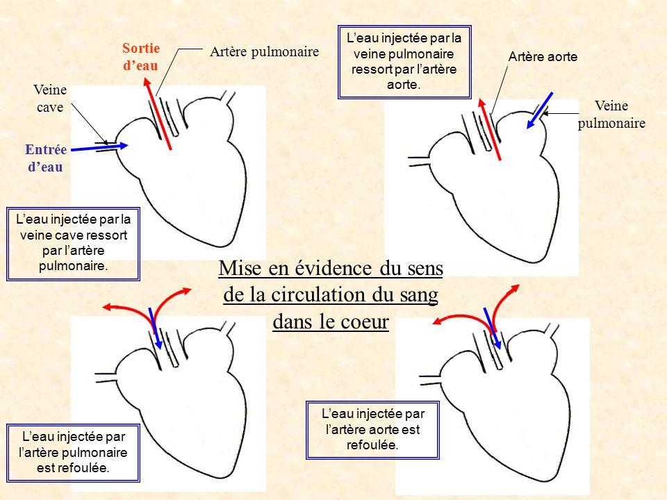 Mise en évidence du sens de la circulation du sang dans le coeur