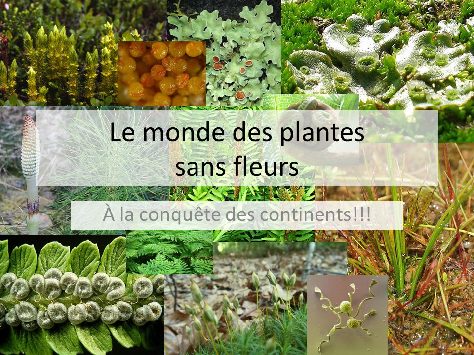 le monde des plantes sans fleurs ppt video online t l charger. Black Bedroom Furniture Sets. Home Design Ideas
