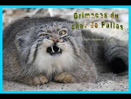 Grimaces du chat de Pallas Diaporama de Gi.
