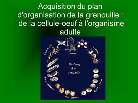 Acquisition du plan d'organisation de la grenouille :