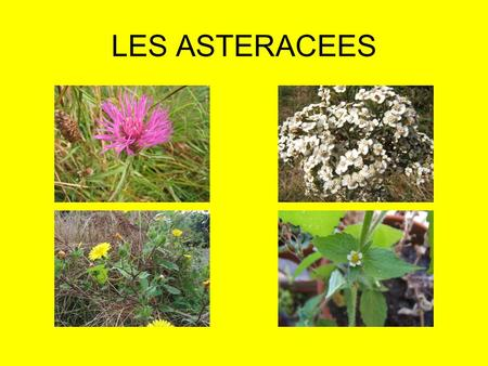 LES ASTERACEES.