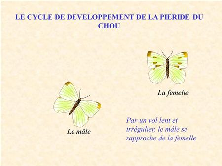 LE CYCLE DE DEVELOPPEMENT DE LA PIERIDE DU CHOU