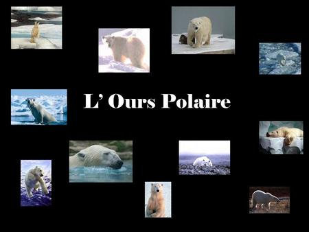 L' Ours Polaire.