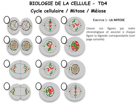 BIOLOGIE DE LA CELLULE - TD4 Cycle cellulaire / Mitose / Méiose
