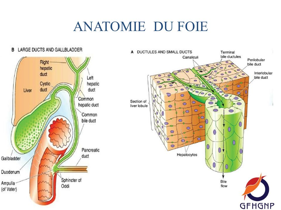 Colorful Anatomie Du Foie Adornment - Anatomy And Physiology Biology ...