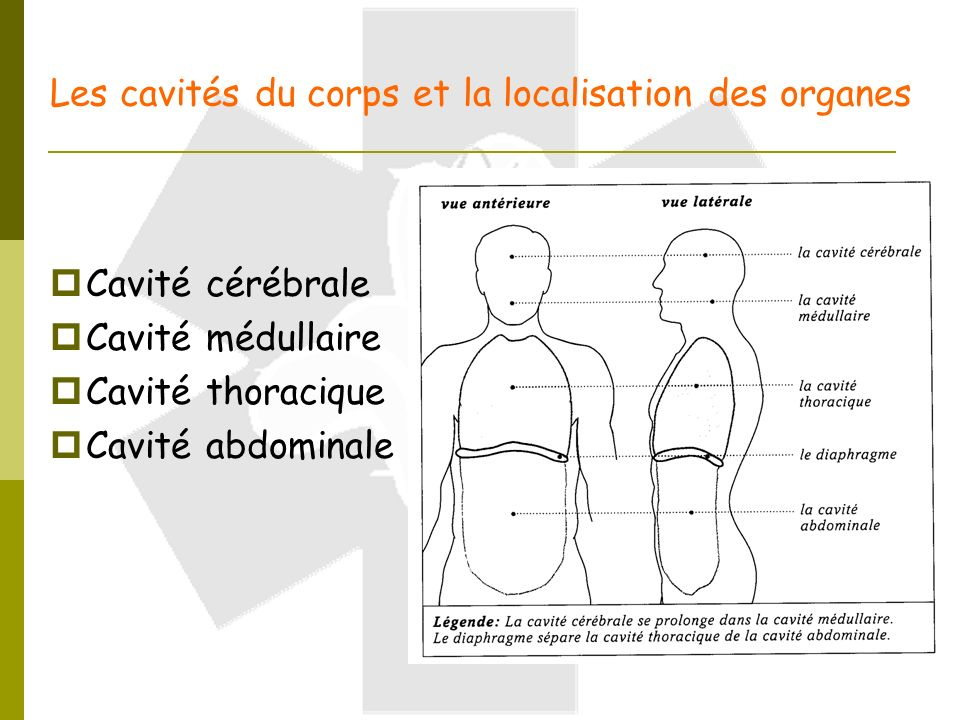 Notions Generales D Anatomie Ppt Video Online Telecharger