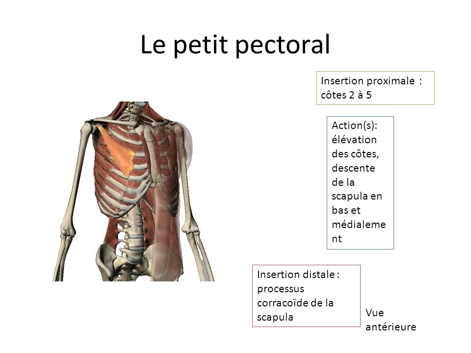 Le petit pectoral Insertion proximale : côtes 2 à 5