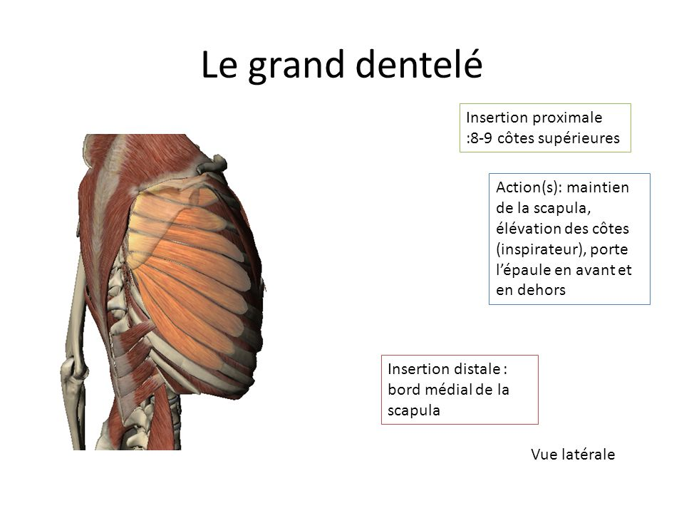 Le grand dentelé Insertion proximale :8-9 côtes supérieures