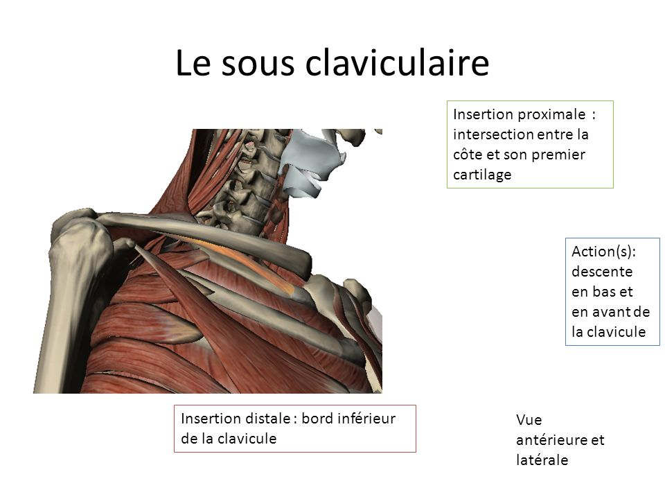 Le sous claviculaire Insertion proximale : intersection entre la côte et son premier cartilage.