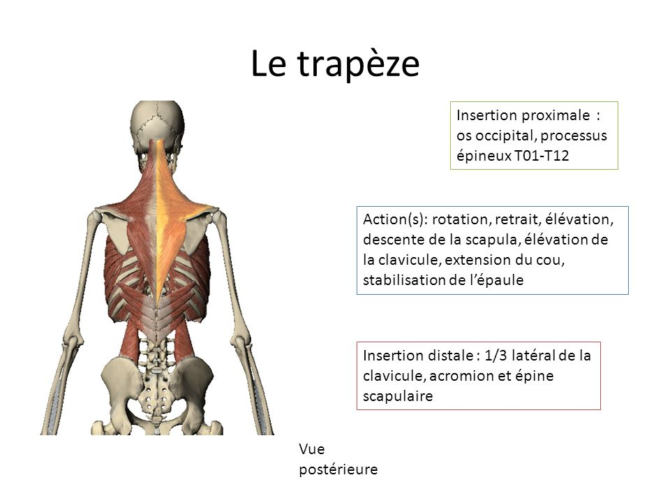 Le trapèze Insertion proximale : os occipital, processus épineux T01-T12.