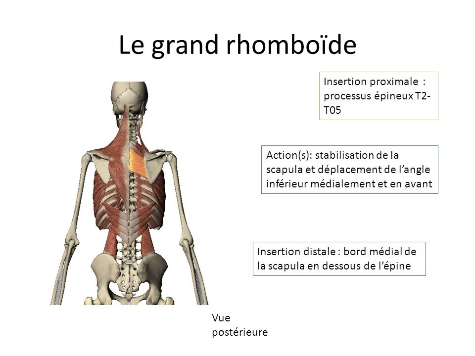 Le grand rhomboïde Insertion proximale : processus épineux T2-T05