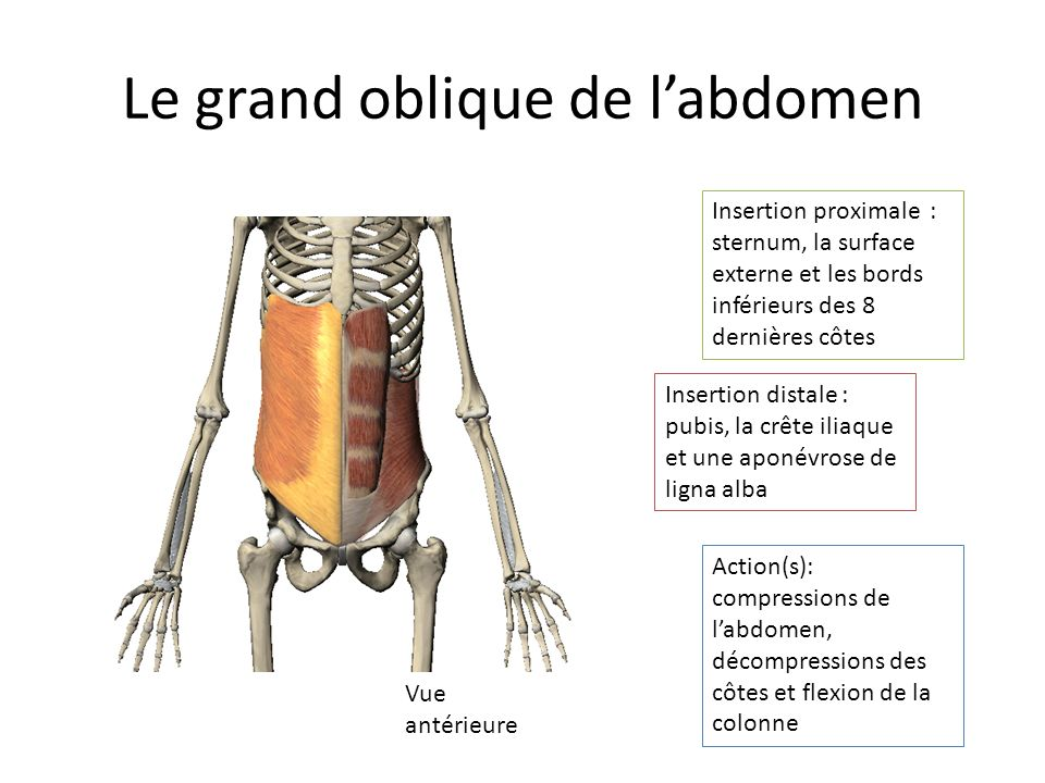 Le grand oblique de l'abdomen