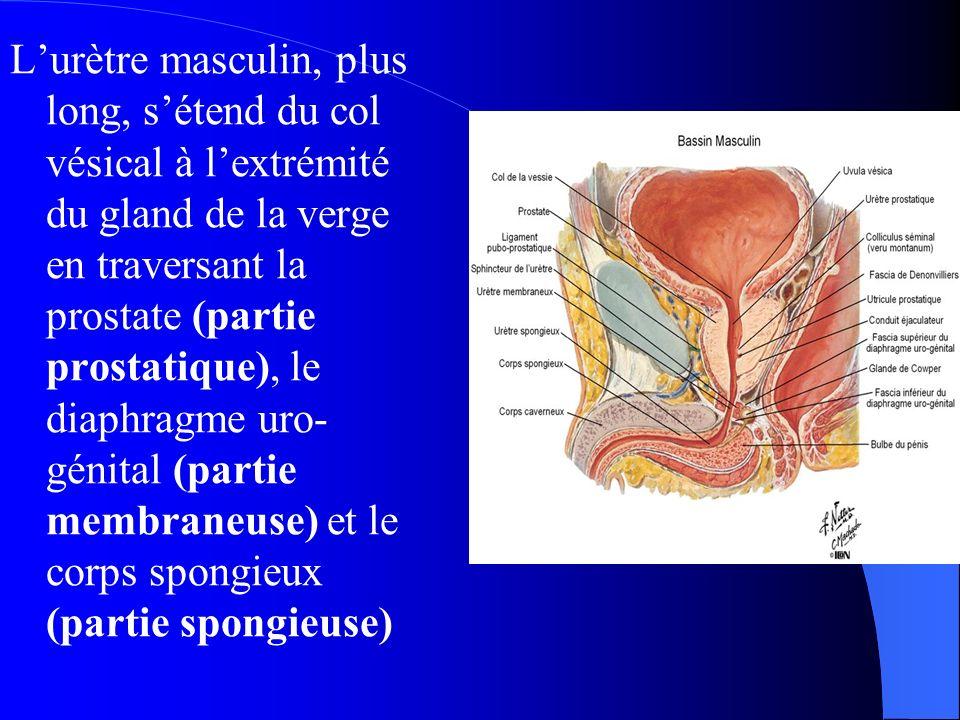 anatomie de la verge pdf