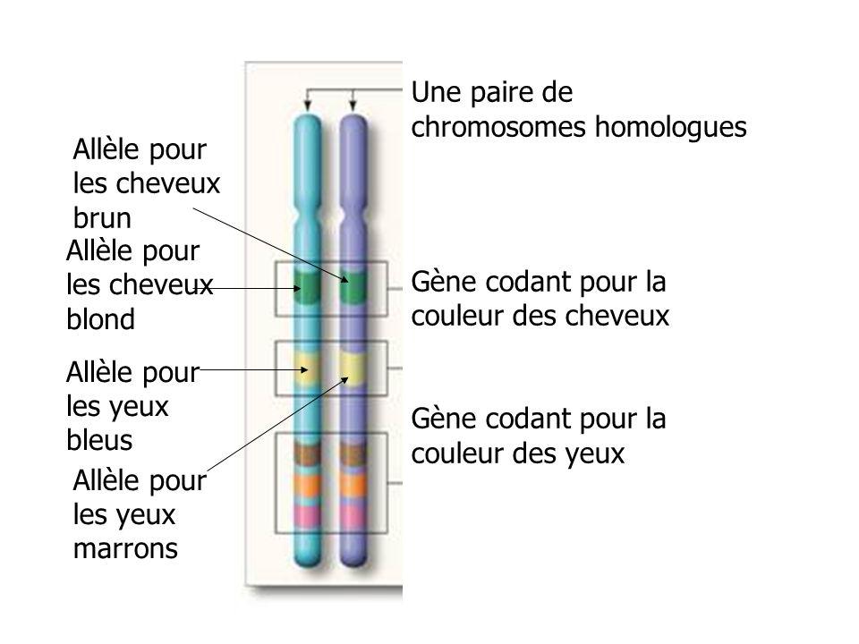 chromosomes et g nes ppt t l charger. Black Bedroom Furniture Sets. Home Design Ideas