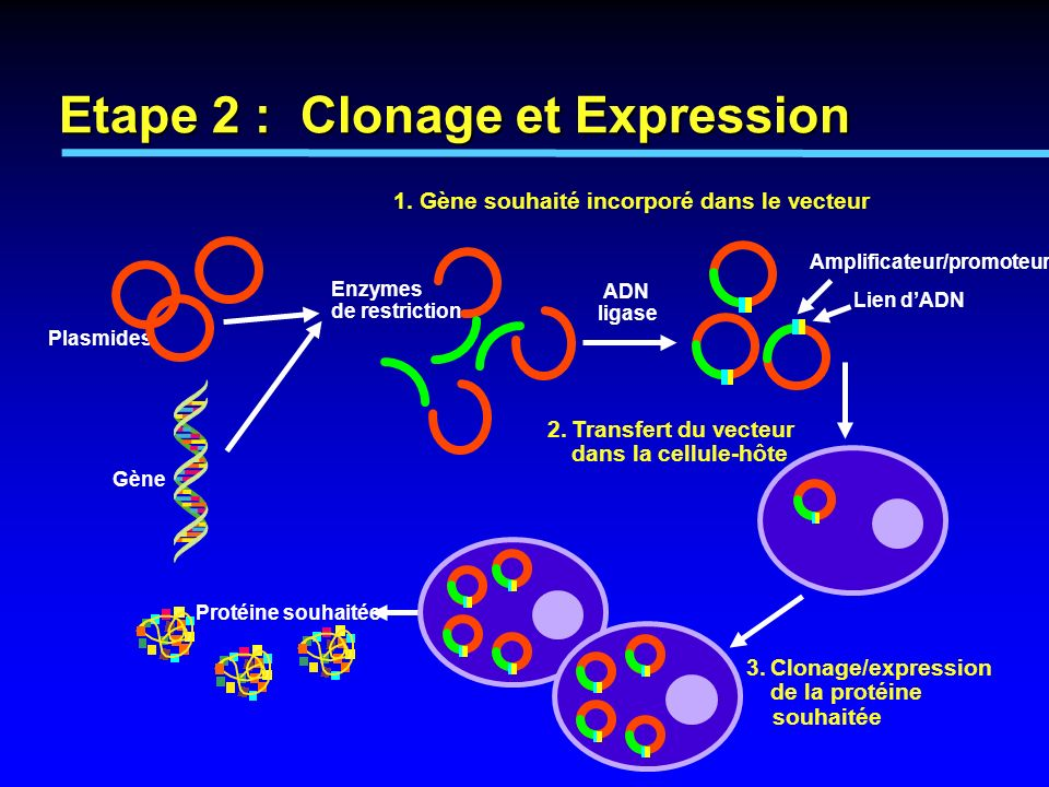 Etape 2 : Clonage et Expression