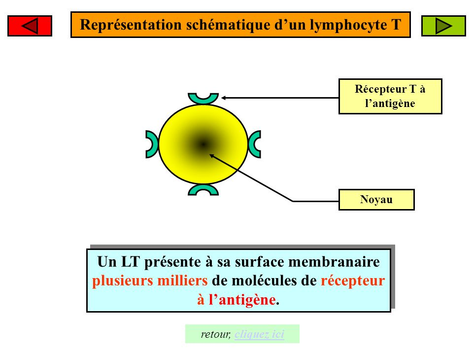 Représentation schématique d'un lymphocyte T