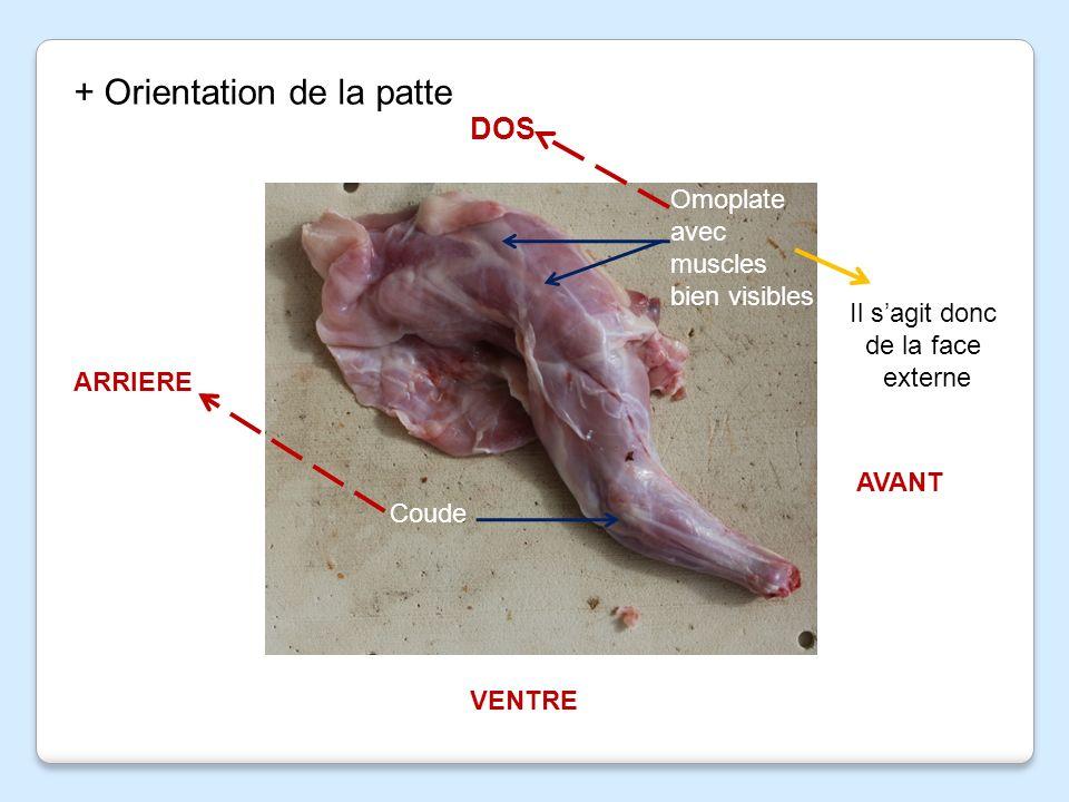 dissection patte de lapin