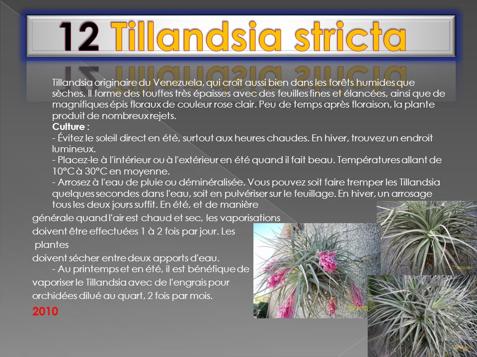 12 Tillandsia stricta