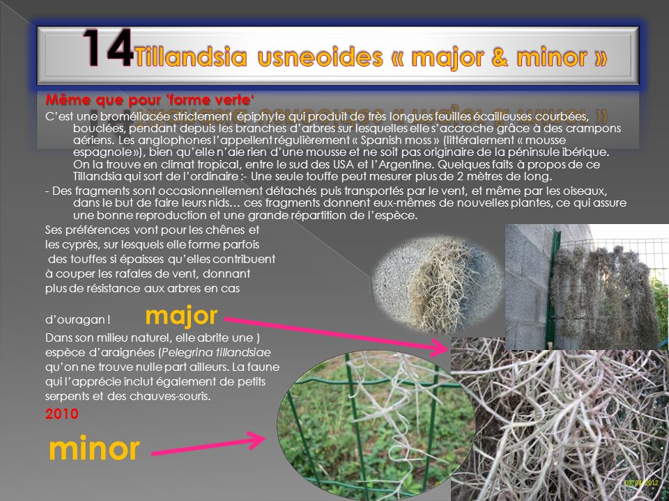 14Tillandsia usneoides « major & minor »